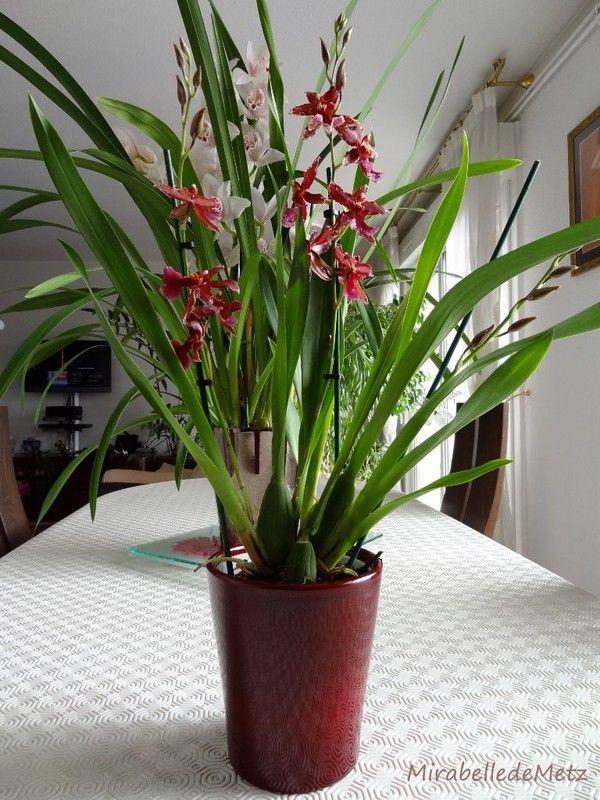 orchidee odorante