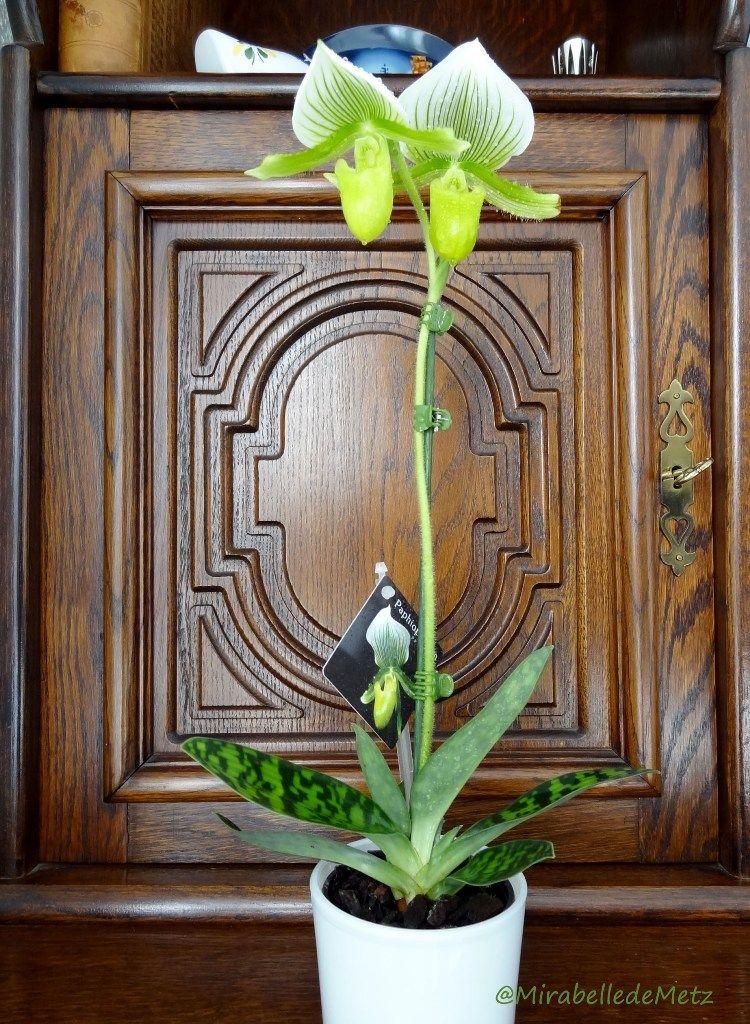 Nos orchidees - Orchidee sabot de venus ...